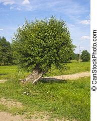 Salix alba, tree off the beaten path