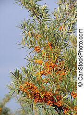 sallow thorn 15