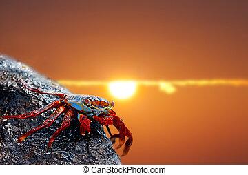 Sally lightfoot crab on Galapagos - Close up of a Sally...