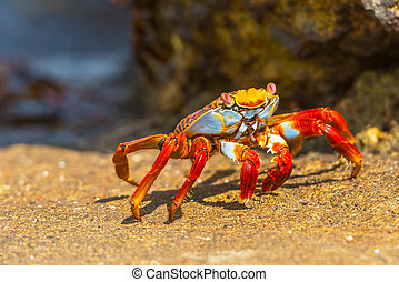 Sally Lightfoot crab on Galapagos Islands - Sally Lightfoot...