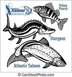 salmão, amarela, esturjão, atlântico, isolado, branca, ...