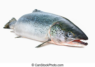 Atlantic salmon - Salmo salar. Atlantic salmon on the white...