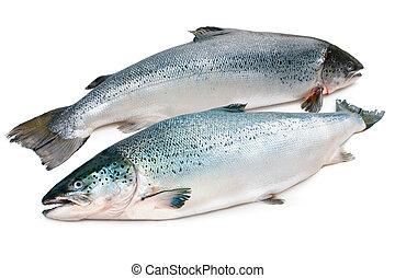 Atlantic salmon - Salmo salar. Atlantic salmon on the white ...