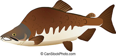 salmon - vector image of pink salmon
