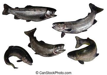 salmon fish isolated on white background