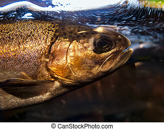 Salmon In Aquarium