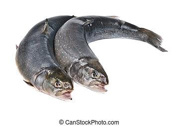 Salmon isolated on white background