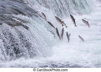 Salmon Jumping Up the Brooks Falls at Katmai National Park,...