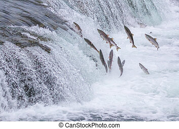 Salmon Jumping Up the Brooks Falls at Katmai National Park,...