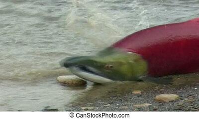 salmon on the coast