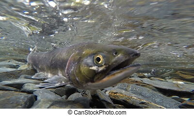 Salmon Pair Clear Stream Fish Spawning Mating Wildlife - A...