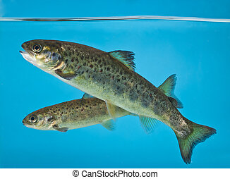 salmon swimming in aquarium