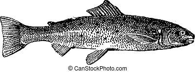 Salmon vintage engraving - Old engraved illustration of...
