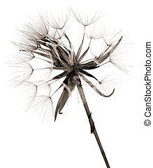 salsify autumnal seedhead, monochrome, on white