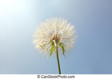 Salsify. Tragopogon dubius, plant like big dandelion. ...