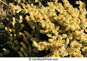 Salsola oppositifolia flowers under the sun