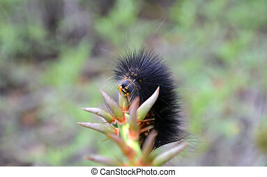 Salt Marsh Caterpillar - Close-up of a Salt Marsh...