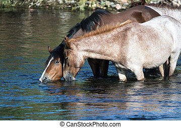 Salt River Wild Horses in Tonto National Forest near Phoenix, Arizona.