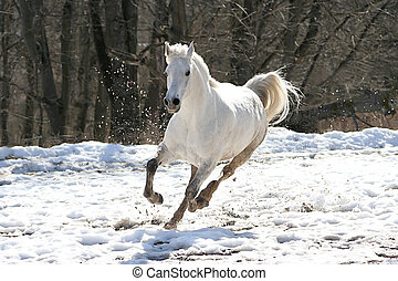 saltando, cavallo bianco