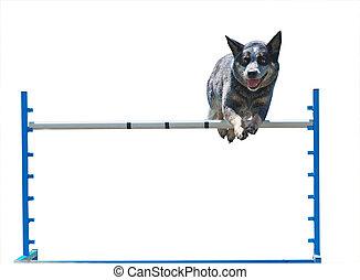 saltar, australiano, perro, ganado