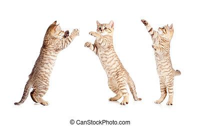 saltar, conjunto, gatito, británico