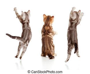 saltar, gatito, británico, vista trasera, conjunto