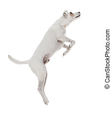 saltar, terrier, gato russell