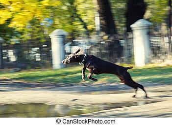 saltare, cane