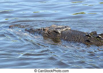 Saltwater Crocodile, Australia - Saltwater Crocodile, Kakadu...
