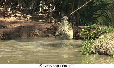 Saltwater Crocodile Chewing Meat On String - Handheld,...
