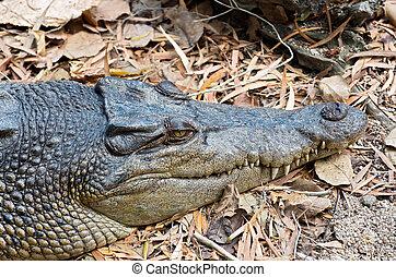 Saltwater Crocodile Closeup - saltwater crocodile or...
