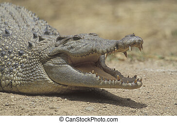 Saltwater crocodile, Crocodylus porosus, single reptile head...