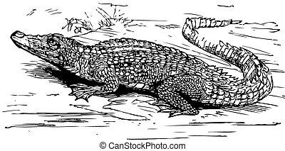 Saltwater crocodile engraved illustration - Engraving of a...