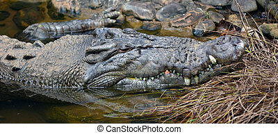 Saltwater crocodile face in a river in Queensland Australia