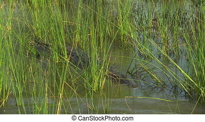 High angle shot circling around a saltwater crocodile resting in a marshy area