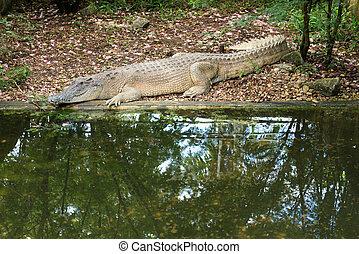 Saltwater crocodile in the farm - Saltwater crocodile in the...