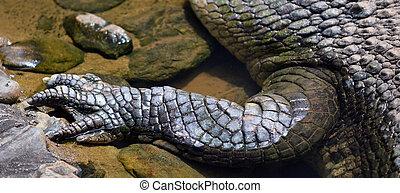 Saltwater crocodile leg in a river in Queensland Australia
