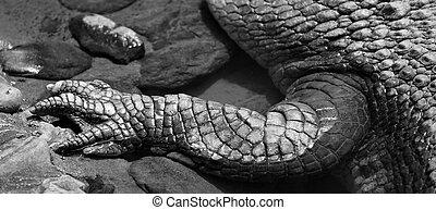 Saltwater crocodile leg in a river Queensland Australia (BW)
