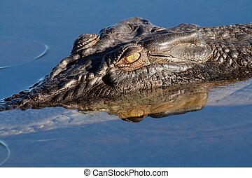 Saltwater crocodile - Large saltwater crocodile, Yellow...