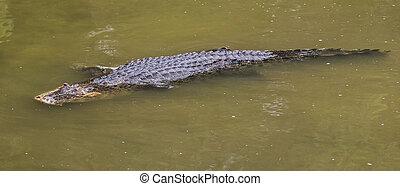 Saltwater Crocodile - Saltwater crocodile in captivity