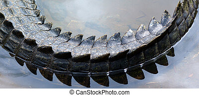 Saltwater crocodile tail in a river in Queensland Australia