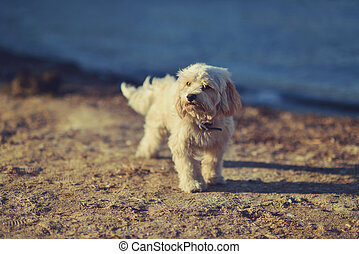 salty dog - on the beach in the sunshine is a white dog