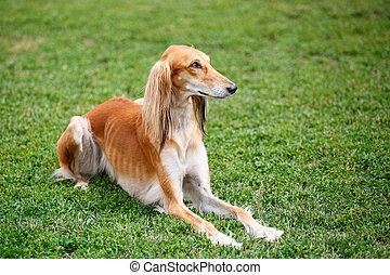 Saluki dog in the park