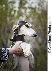 Saluki dog with a brown collar on a background of nature stands on its hind legs and rests on a man?s hand
