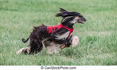 Saluki in red shirt running in the field on lure coursing competition