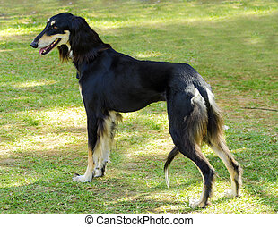 Saluki - A side view of a healthy beautiful grizzle, black...