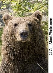 salvaje, agua, enfriamiento, oso