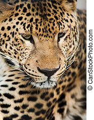 salvaje, animals:, retrato, de, leopardo
