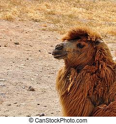 salvaje,  bactrian, camello