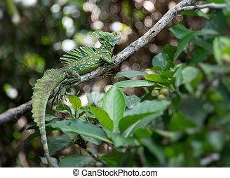 salvaje, basilisk, lagarto, verde